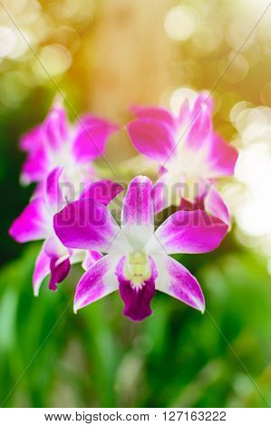 Beautiful Purple Dendrobium orchid flower in the orchid garden. Selective focus.