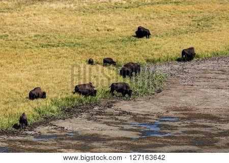 Views of Bisons in Yellowstone National Park