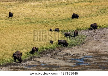 View of Bisons in Yellowstone National ParkBisons in Yellowstone National Park