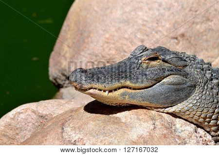 smiling, Grey alligator head in profile on a rock