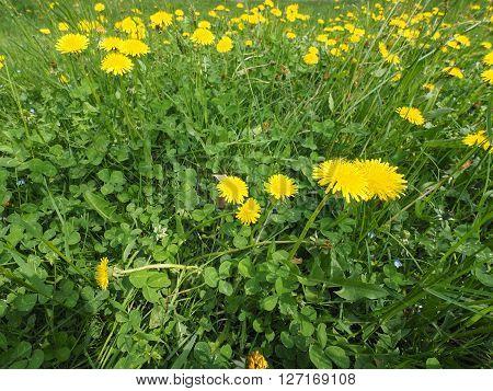 Common Dandelion Flower With Bee