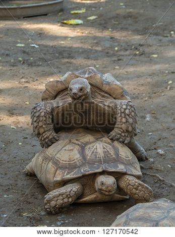 Old turtles mating on the ground