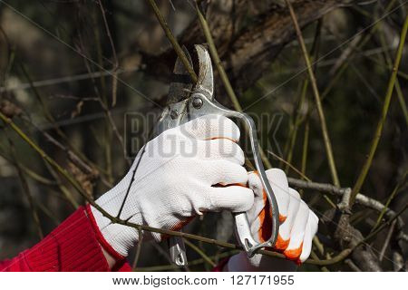 Pruning in bright gloves spring time. Gardening with steel tools