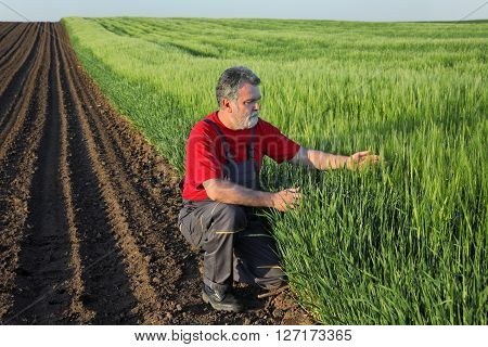 Agriculture, Farmer Examine Wheat Field