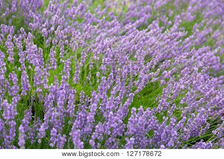 Purple violet color lavender flower field closeup background. Selective focus used. ** Note: Soft Focus at 100%, best at smaller sizes