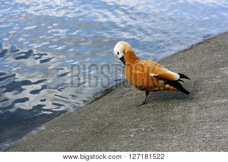 Ruddy Shelduck (red duck) stands near the pond. The bird bowed her head and standing on one leg.
