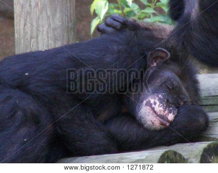 Napping Chimpanzee