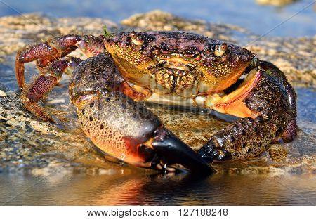 Large Stone Crab sits on the seashore