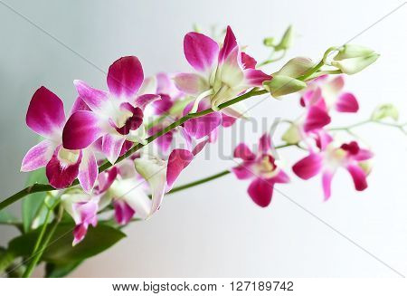 Flower and Plant Fresh Pink Phalaenopsis or Pink Orchid Flower Streak.