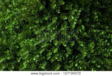 Background Pattern Beautiful Abstract Dark Green Leaves Wall or Dark Green Bush Background.