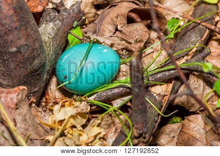 nest with blue egg of Turdus Philomelos bird