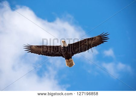 Bald eagle soars in the clouds spread winged