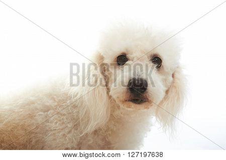 Portrait Of White Poodle