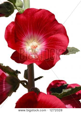 Red Holly Hock