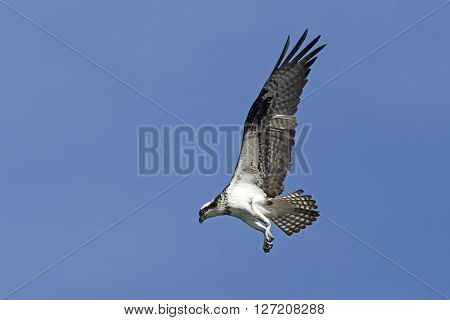 Osprey with wings backward. An osprey in north Idaho is fluttering its wings up in a clear blue sky.