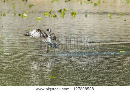 Osprey catches big fish in Fernan Lake Idaho.