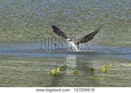 Osprey flies out from water in Fernan Lake Idaho.