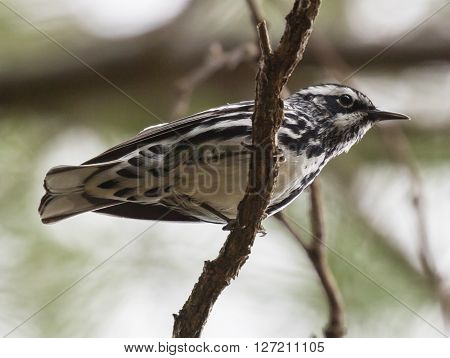 Black-and-white Warbler (Mniotilta varia) perched on a branch