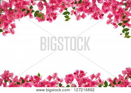 Bougainvillea flower frame on white background Provincial flower of phuket thailand