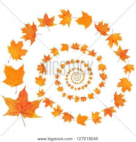 Autumn maple leaves spiral isolated on white