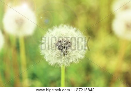 Dandelion flowers, close up. Retro style