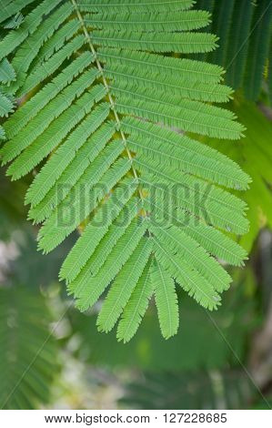 fresh green climbing wattle leaves in vegetable garden