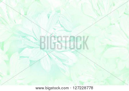 Closed-up Of Spray Type Of Chrysanthemum (dendranthemum Grandifflora) In Pastel Tone.