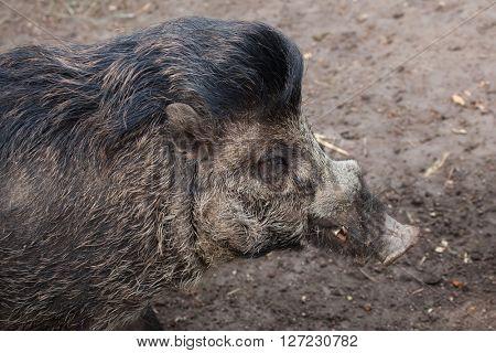 Visayan warty pig (Sus cebifrons). Wild life animal.