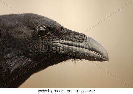 a close-up of raven / Corvus corax
