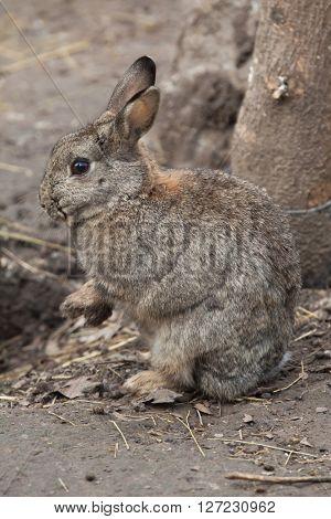 European rabbit (Oryctolagus cuniculus), also known as the common rabbit. Wild life animal.