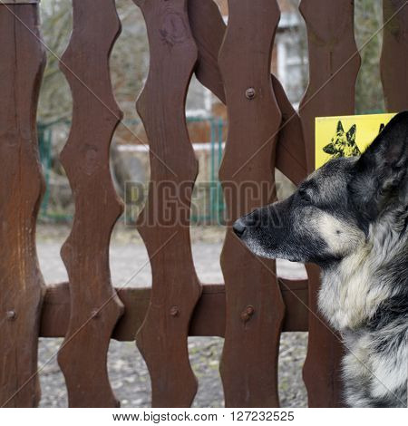 A shepherd dog against the wooden fence concept of safety outdoor selective focus shot