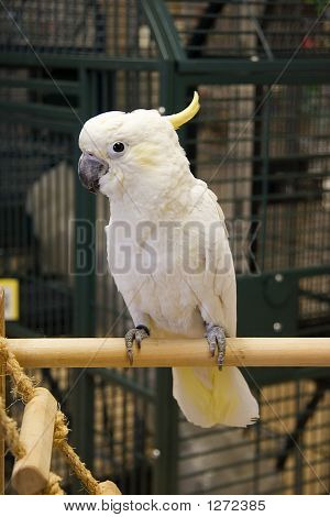 Lesser  Sulphur Crested Cockatoo