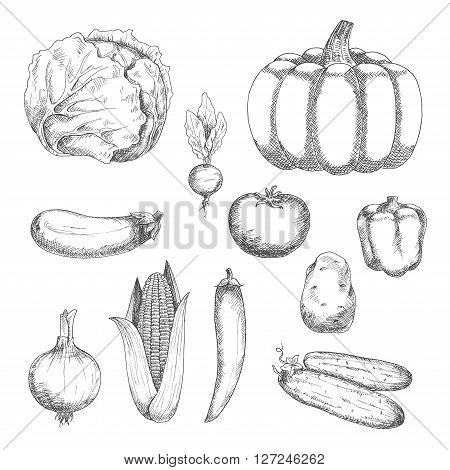 Fresh crunchy cabbage and cucumbers, ripe tomato, potato, eggplant and pumpkin, sweet bell pepper and corn, spicy chili pepper, onion and radish vegetables sketch icons. Organic farming or vegetarian salad recipe design usage