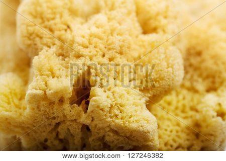 Background of natural sea sponge