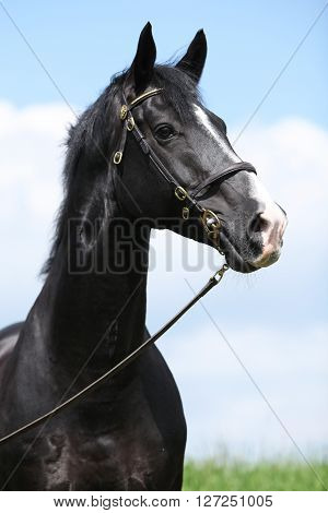 Amazing Black Welsh Part-bred Stallion