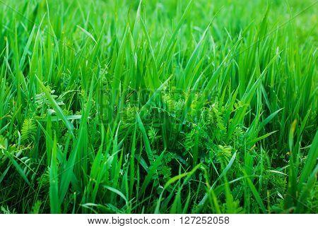 Background of a green grass. Green grass.