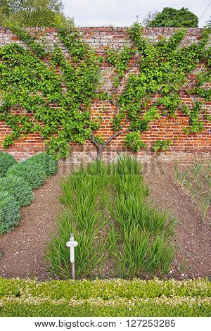 Tree and bushes in Kitchen Garden of Audley End House in Essex in England. It is a medieval county house. Now it is under protection of the English Heritage.