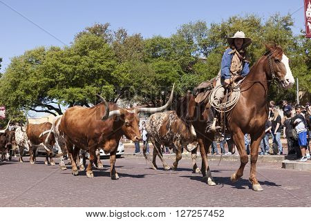 FORT WORTH TX USA - APR 6: Cowboys and longhorns in the Fort Worth Stockyards historic district. April 6 2016 in Fort Worth Texas USA