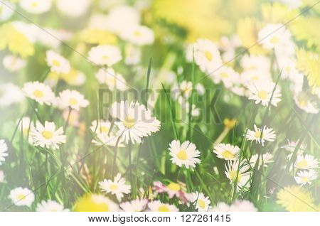 Wild camomile daisy flowers growing on green meadow, soft pastel image with sunlight and copy space, holiday easter background