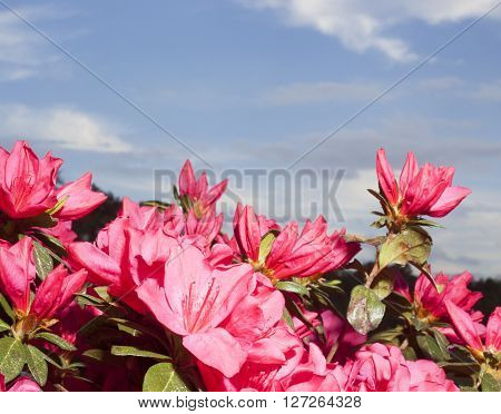 Azalea wearing bright pink flowers with clouds and sky behind