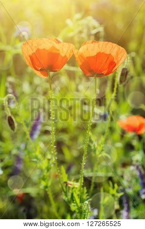 Red poppy flowers blooming in the green grass field, floral sunny natural spring background, can be used as image for remembrance and reconciliation day