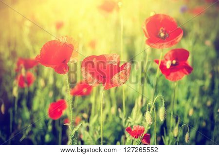 Red poppy flowers blooming in the green grass field, floral sunny natural spring  vintage hipster background, can be used as image for remembrance and reconciliation day