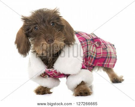 dressed puppy Wire haired dachshund in front of white background