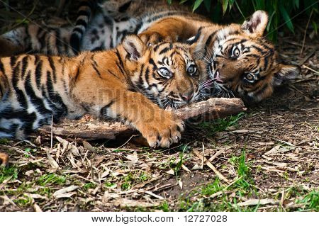 Two Cute  Sumatran Tiger Cubs Playing