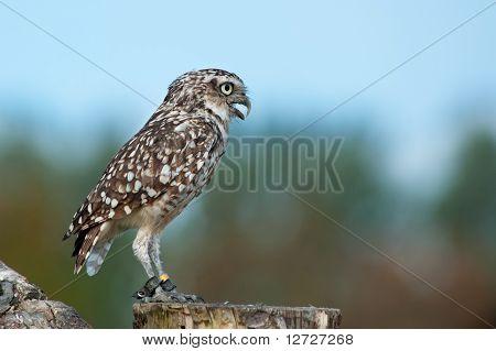 Close Up Of Burrowing Owl