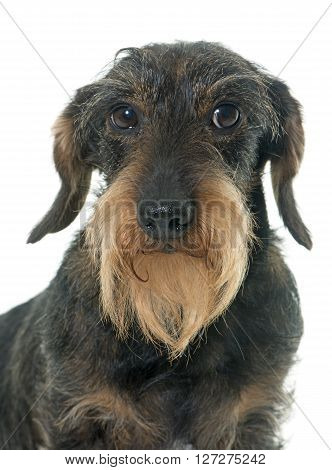 Wire haired dachshund in front of white background