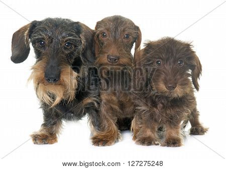 family Wire haired dachshund in front of white background