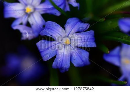 Scilla luciliae blue flower in spring time