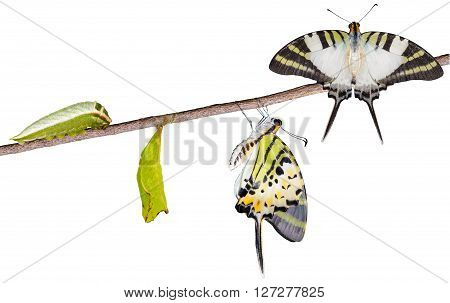 Isoalted five bar swordtail butterfly life cycle with clipping path (antiphates pompilius)