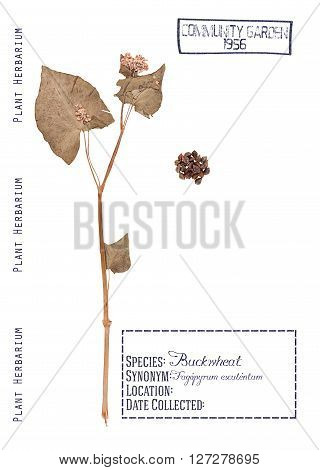 Herbarium pressed parts of buckwheat plants. Leaves stem flower and seeds isolated on white